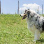 animoR Australian Shepherd Italia Kiss